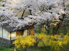 2016春、奥羽の桜巡り(7/38):4月22日(7):盛岡城址公園(3):盛岡城址、染井吉野