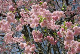2016春、奥羽の桜巡り(11/38):4月23日(2):仙北市(2):角館の武家屋敷跡、枝垂れ桜、青柳家、青柳紅八重枝垂桜