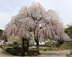 飛騨荘川の里で満開の桜を堪能