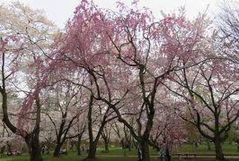2016春、奥羽の桜巡り(21/38):4月23日(12):弘前市(2):弘前公園、満開の染井吉野