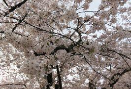 2016春、奥羽の桜巡り(22/38):4月23日(13):弘前市(3):弘前公園、満開の染井吉野と枝垂桜