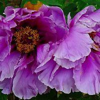 尼崎市農業公園・・・牡丹園の花。