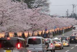 2016春、奥羽の桜巡り(28/38):4月23日(19):弘前市(9):弘前公園、満開の染井吉野と枝垂桜、三葉躑躅、椿