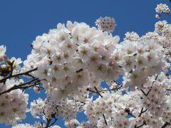2016春、奥羽の桜巡り(31/38):4月24日(3):五所川原市(2):芦野公園、ほぼ満開の染井吉野、芦野湖、羆動物園