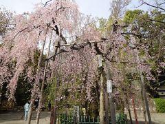 東京で見たい桜  <<またまた弾丸ですが>>