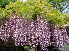 樹齢1200年の古木 牛島の藤(藤花園)