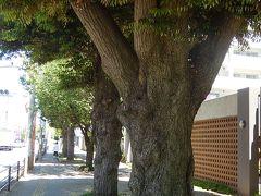 ふじみ野市市役所付近のスダジイと福岡中央公園の風景