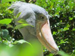 上野動物園でハシビロコウ達鳥類は虫干しに忙しい!