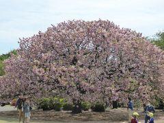 優雅な春の「新宿御苑」♪ Vol1 八重桜が満開♪