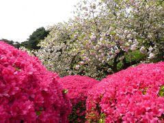 優雅な春の「新宿御苑」♪ Vol2 八重桜とツツジの競演♪
