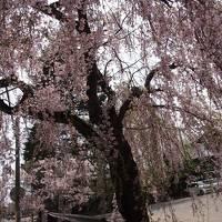 東北の小京都  桜の季節に角館を尋ねる。1泊2日の 空旅
