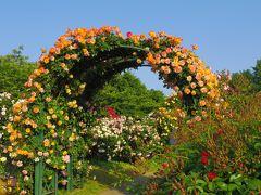 2016年春 京成バラ園 オレンジ色のバラ