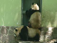 上海動物園のパンダ