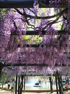 五月晴れの白井大町藤公園 &白毫寺 九尺藤ライトアップ