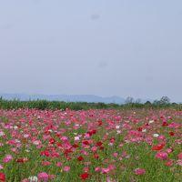 日本一広いポピー畑を歩く「こうのす花まつり」