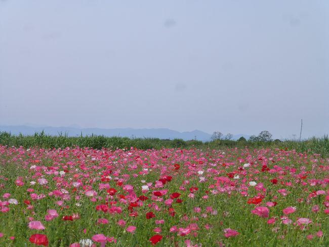 埼玉県にはポピーで有名な場所が2か所あります。<br />天空のポピーで有名な秩父高原牧場とこちら日本一の面積の鴻巣。<br /><br />4年前大霧山ハイキングの後に行った秩父高原牧場の天空のポピーは<br />ても見事でした。<br />昨年いった方の旅行記を拝見したら私が行った時よりさらに<br />ポピーが美しく来年は行こうと決めていました。<br />が、今年は私が行った4年前と違い大々的に宣伝もされ<br />なんとなく行きそびれてしまいまいました。<br /><br />そんな時鴻巣で歩くイベントがあったので、こちらに参加することにしました。<br /><br />