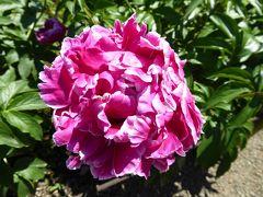 初夏の「神代植物公園」 Vol2 華麗なシャクヤクが美しい♪
