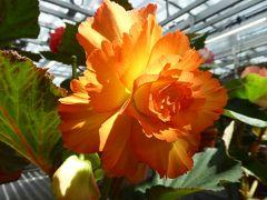 初夏の「神代植物公園」 Vol5 リニューアルオープン「大温室」 巨大なベゴニアの花は素晴らしい♪
