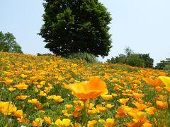 初夏の「国営昭和記念公園」♪ Vol1 オレンジ色の美しい「カリフォルニアポピー」♪