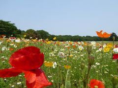 初夏の「国営昭和記念公園」♪ Vol2 咲き続ける「アイスランドポピー」♪