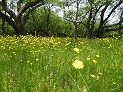 初夏の「国営昭和記念公園」♪ Vol3 「桜の園」 桜の下で咲く黄色のタンポポ♪