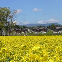 大桐原の菜の花
