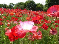 初夏の「国営昭和記念公園」♪ Vol8 真っ赤な花の丘「シャーレーポピー」♪