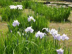 初夏の「国営昭和記念公園」♪ Vol10 「ハーブ園」 スイレンと花菖蒲を優雅に眺めて♪