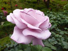 初夏の「旧古河庭園」♪ Vol1 洋館とバラの美しい競演♪