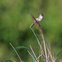 野鳥撮影記録(2016年6月②)三宅島