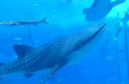 沖縄で一番行ってみたかった沖縄美ら海水族館。<br />ジンベエザメ、キターーー!!!