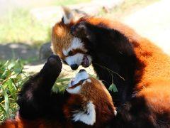 初夏の鯖江・神戸のレッサーパンダを求めて北陸から近畿へ(2)【鯖江編2】西山動物園レッサーパンダ特集:会いたかったラブラブなムータン・ティアラと初めましてのシュンシュンくんとミルキーちゃん再会