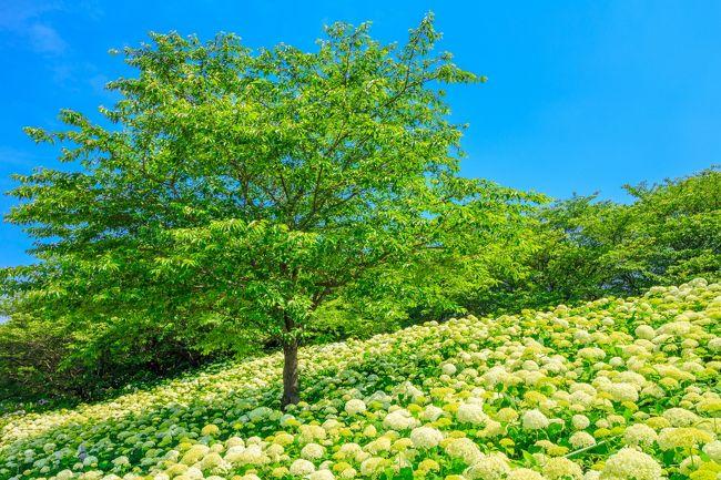 今年も紫陽花の時期が遂にやってきた!<br />天気も快晴という事で、トラベラーウェンディさんの旅行記で知った権現堂の雲上の世界を堪能しに神奈川から埼玉までドライブに行ってきました。<br /><br />参考にさせていただいたウェンディさんの旅行記はこちら<br />http://4travel.jp/travelogue/10897907<br /><br /><br />関連旅行記<br />菜の花と桜の絶景コラボ~権現堂桜堤~<br />http://4travel.jp/travelogue/11120334<br /><br />