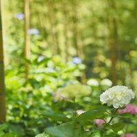 紫陽花めぐり、花野辺の里と八幡岬公園