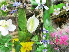 初夏の尾瀬を彩る花たち ~ミズバショウだけじゃない尾瀬の魅力~