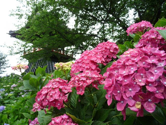 アジサイ寺として知られている「能護寺」を、2年ぶりに訪れました。<br />「能護寺」は、埼玉県の北部、「暑い」でおなじみの熊谷市の北端にあります。<br /><br />アジサイの開花状況は、若干早めでしたが、萎れた花や枯れた花が少なかったので、総合的には見頃といって良い状況でした。<br />綺麗な青空が見られなかったことは残念でしたが、梅雨時なのに降られなかったので好しとします。