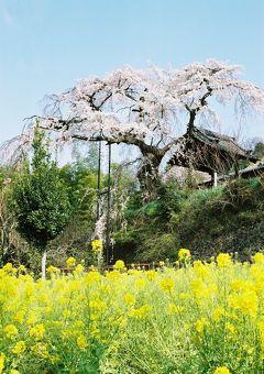 ひとりお花見部 2008 井手の玉川~地蔵禅院~京都市内   京都詣でNo.9