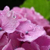 稲沢大塚性海寺は花の寺 慈雨に滴るあじさいが素敵♪
