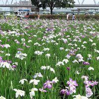 小岩菖蒲園a  江戸川河川敷の花園 5000?  ☆ハナショウブ八分咲きに
