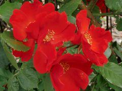今年はどんなかな、大通公園サンクガーデンの薔薇2016♪