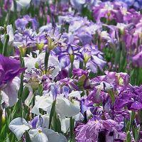 堀切菖蒲園c 肥後系・伊勢系の品種も多彩 ☆個性競い合い群生の美