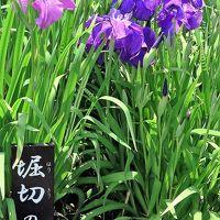 堀切菖蒲園b 堀切の夢 ご当地新種も ☆品種名も情趣ゆたかに