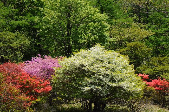春の日光を楽しむ旅【2】~ツツジ咲くキスゲ平と大笹牧場~