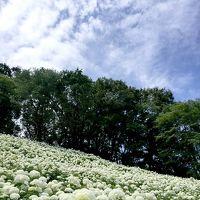 前編 アナベルが好きー! 〜あきる野の斜面に咲く、真っ白な世界の巻〜