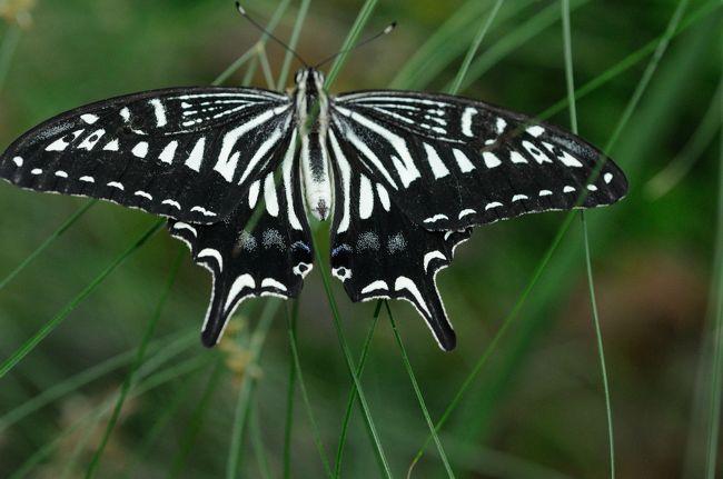 伊丹市の昆陽池公園に有る、昆虫館のチョウの温室ではなんと1000匹の蝶が舞うすごいとの情報を得たので行って来ました。