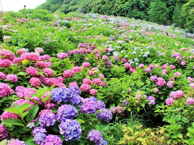 梅雨時のお花といえば、紫陽花だよね♪<br />そんな紫陽花を斜面一面に楽しめる場所が愛知県にあるんだとか・・・<br />4トラのとある旅行記で、そんな場所を知ってから、今年の紫陽花は、形原温泉までドライブすることにしようって!!<br /><br />そういえば、今までお寺さんでしか紫陽花を見たことがなかったなぁ。<br />と言う訳で、お寺さんじゃない場所での紫陽花に興味津々・・・<br />6月に入って、あじさい祭りが始まると、虎視眈々と行く日を狙っていたんだけれど、週末でお休みと重なる日は、なぜか雨が降って・・・<br />京都から愛知県まで、そこそこの距離を走らないといけないので、雨じゃ無い日が良いなぁ~~<br /><br />結果・・・何とか、最後の最後の滑りこみで紫陽花を楽しむことができました♪<br />ランチは、おさかな市場でまぐろを食べて♪♪<br />久しぶりのまぐろ~~~(笑)美味しいわ~<br /><br />やっぱり、季節の花を楽しむことができるって、素晴らしいことですね。<br /><br /><br />形原温泉あじさいの里  http://www.katahara-spa.jp/ <br />ラグーナテンボスおさかな市場  http://www.lagunatenbosch.co.jp/festival/shop/restaurant/index.html<br />吉芋  http://www.kichiimo.com/<br />