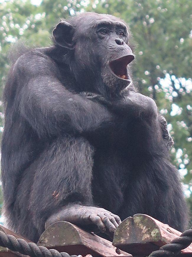 東山動物園 については・・http://www.higashiyama.city.nagoya.jp/04_zoo/index.php東山動植物園(ひがしやまどうしょくぶつえん)は、愛知県名古屋市千種区の東山公園内にある市営動植物園。1937年(昭和12年)に開園した。敷地面積: 59.58 ha(動物園 32.21ha、植物園 27.37ha)59haもの広大な園内には、動物園(本園・北園)、植物園、東山スカイタワー、さらに遊園地が併設されている。名物は数百種類もの世界中のメダカ類を体系的に展示している「世界のメダカ館」である。また、国内では3園でしか飼育されていない希少なペルシャヒョウや、国内では1頭のみと言うドールシープ、ミミセンザンコウも飼育されているほか、屋外飼育で活発に走り回るシンリンオオカミの姿が見られたり、カンガルーを至近距離で見られる「カンガルー広場」、ライオンをガラス越しに見られる「ワ〜オチューブ」が設置されるなど、動物本来の生態を見せる展示が進められている。世相の変化もあって、単なるレクリエーションではない、教育・研究・繁殖などにも重きを置いた動物園へと徐々に転換した。1984年(昭和59年)には、日本で初めてコアラが来日し、コアラ舎には連日の行列ができた。2015年、ニシローランドゴリラ「シャバーニ」が「イケメンゴリラ」として話題になった。(フリー百科事典『ウィキペディア(Wikipedia)』より引用)ラーテル(Ratel、異名:ミツアナグマ)は、ネコ目(食肉目)-イタチ科-ラーテル亜科-ラーテル属に分類される、小型の雑食性哺乳類。本種のみでラーテル属を形成する。「世界一怖い物知らずの動物」とギネスブックに認定された生き物としても知られる。アジア大陸およびアフリカ大陸のおよそ熱帯と温帯に属する、サバンナや乾燥した草原、砂漠(岩石砂漠と礫砂漠)、森林などに生息している。全長約80- 110cm(体長(頭胴長)約60- 80cm、尾長約20- 30cm)、体重約7- 14kg。頭部から背面、尾にかけては白い体毛で覆われる。吻端から腹面、四肢にかけては黒い体毛で覆われる。皮膚は分厚く、特に頭部から背にかけての部位は、伸縮性の非常に高い、それでいて硬さを併せ持つ、柔軟な装甲となっており、生態的にもこれを最大の武器としている動物である。性質は荒く、捕食こそしないものの、ヒトやライオン、アフリカスイギュウ等の大型動物に立ち向かうこともある。背中に柔軟な皮の装甲を持つため、体を裏返しにでもされない限りライオンの牙も鉤爪もラーテルに傷を負わせることはできない。ライオンやコブラなどはもちろん、ヒトさえも恐れず、何にでも手を出して食べようとする貪欲さから、「the most fearless animal(世界一怖い物知らずの動物)」としてギネスブックに登録されている。(フリー百科事典『ウィキペディア(Wikipedia)』より引用)