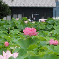 愛知県愛西市森川の花ハスが咲き誇る「森川花はす田」2016年7月