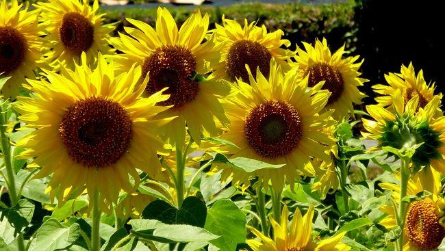 <br />    「君田のひまわり畑」を訪ねて・・<br /><br /> 三次市君田町には、転作田を利用して町内に見事な「ひまわり畑」があるのです。ここ君田のひまわり畑は夏の風物詩にもなっているほど有名になっています。<br /><br /> 毎年大勢の人たちが夏の炎天下に咲くひまわりの花を求めてやってきます。毎年行われている「川とひまわりまつり」が、今年は7月23日(土)〜24日(日)に開催されるというので、喧騒を避けてその前に行ってきました。<br /><br /> やはり祭りの前とあって、訪れる人も少なくゆっくり鑑賞することができました。週末の土日は大変混雑することが想定されるので、前々日に訪れたのは正解でした。<br /><br /> やはり炎天下に咲くひまわりの花は、夏の風物詩と言えます。ひまわり大好きな人たちに「君田のひまわり畑」を紹介します。<br /><br />