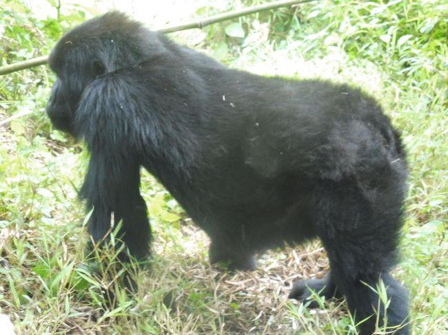 マウンテンゴリラはアフリカ中部のルワンダに生息する世界で最大のゴリラ。<br />800頭ほどがルワンダの森に生息している。<br />約20ファミリーが観測され、10ファミリーは研究用に観察されている。<br />10ファミリーは観光用に保護され、1日7名だけが1時間生息する山中に入り、間近で観察することが許されている。<br /><br />首都キガリ